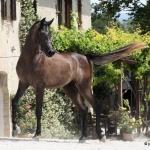 TB Jamil Straight Egyptian Stallion