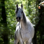 La Diva Noor Straight Egyptian Mare