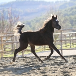 Ladiva Omar straight egyptian colt