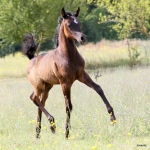 TB Muneera Straight Egyptian Mare