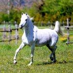 Myniar straight egyptian mare
