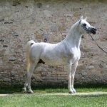 Nabeel Al Khaled Straight Arabian Stallion