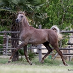 NK Fouad Straight Egyptian Colt
