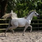 Rayanaa Straight Egyptian Mare