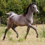 TB Fayza Straight Egyptian Mare