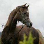 TB Hafid El Nil Straight Egyptian Stallion