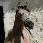 TB Heba Straight Egyptian Mare