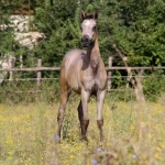 TB Hekayah Straight Egyptian Filly
