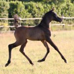 TB Malak Straight Egyptian Filly