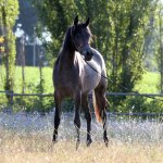 TB Nevine Straight Egyptian Filly