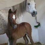 TB Samia straight egyptian filly